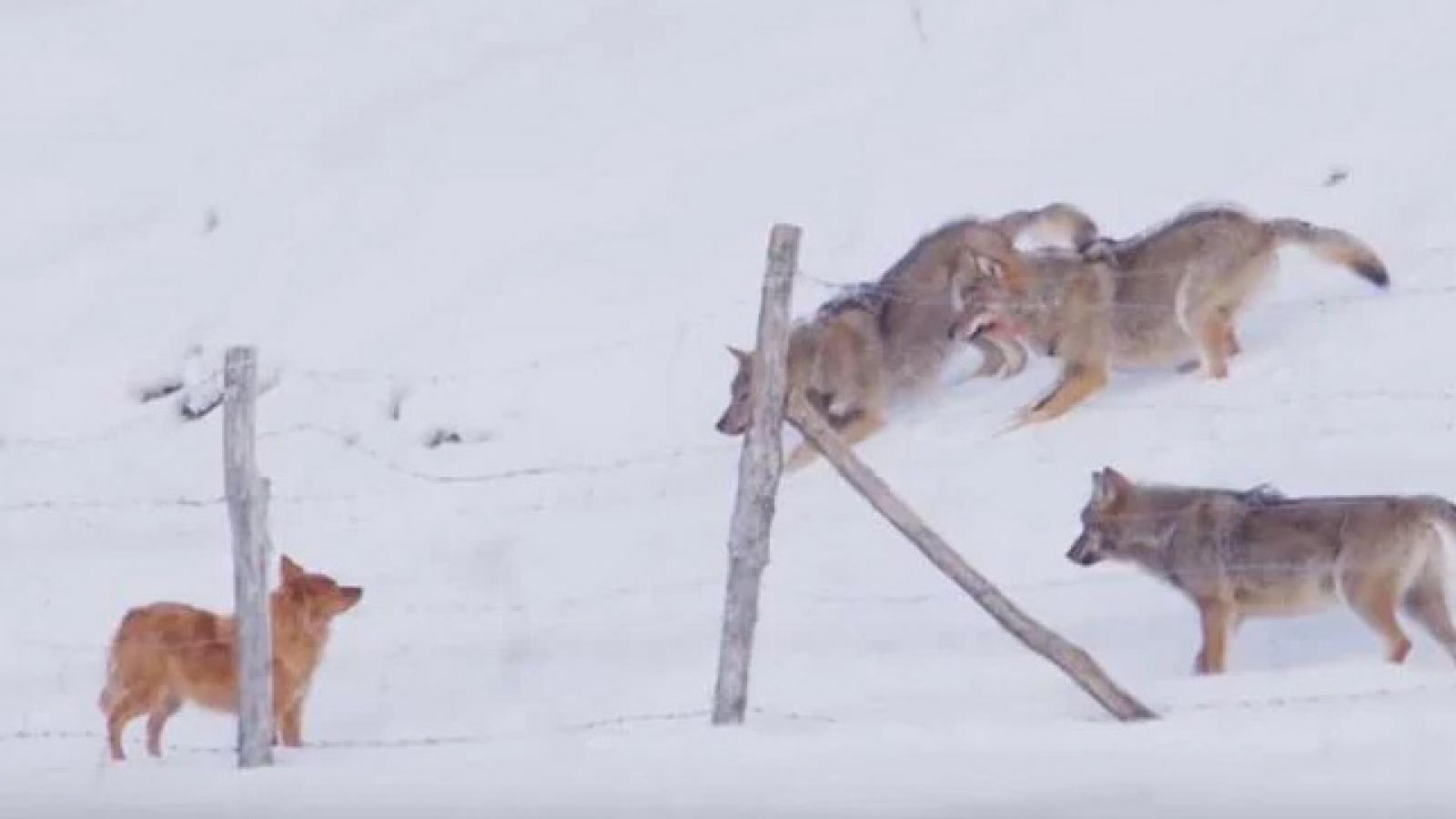 """Chú chó trốn thoát khỏi """"vòng vây"""" của 3 con sói"""
