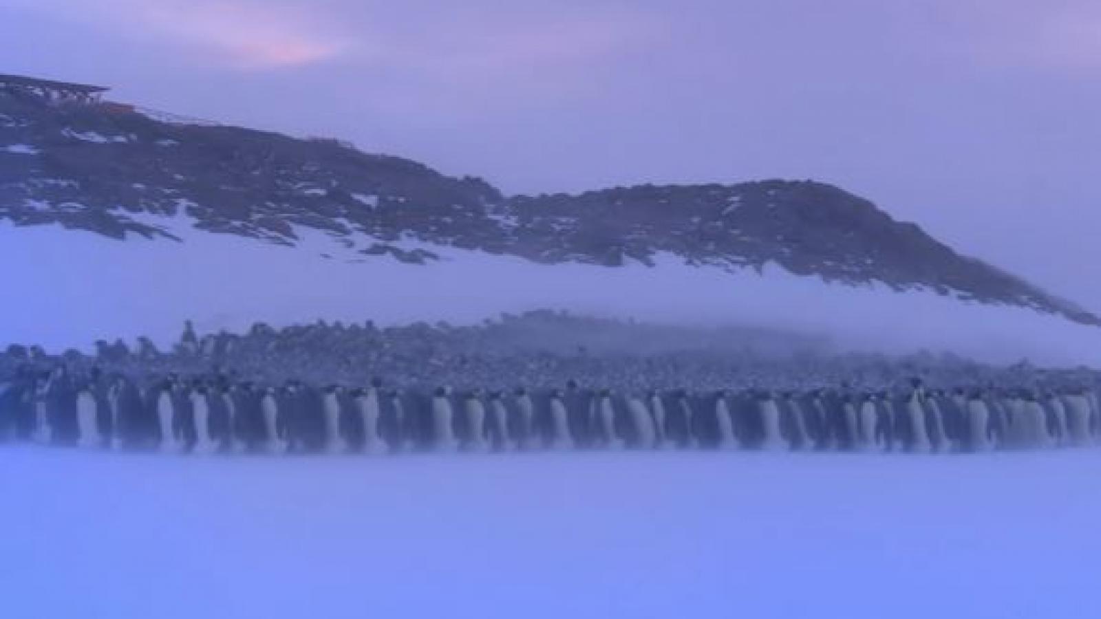 Độc đáo cách tránh rét của chim cánh cụt hoàng đế nơi vùng cực
