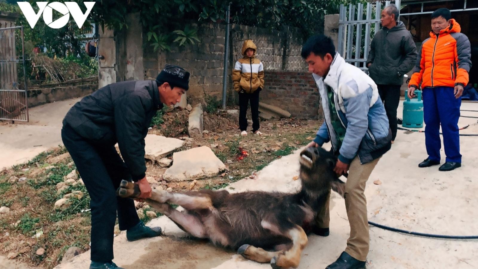 Rét hại khiến 257 con trâu, bò bị chết tại Huyện Kon Plông, Kon Tum