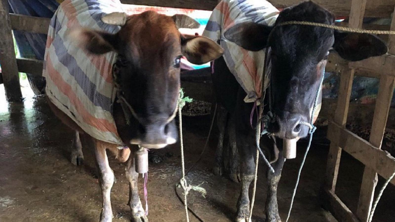 Lập đoàn kiểm tra việc hơn 900 con gia súc ở A Lưới bị chết rét