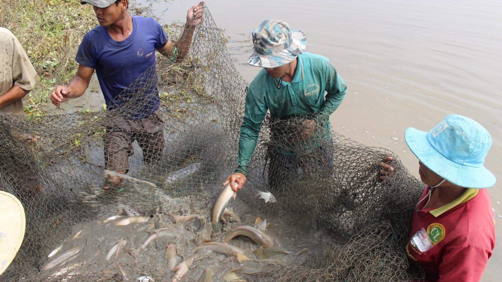 Hậu Giang thu hoạch diện tích cá nuôi trên ruộng mùa nước nổi