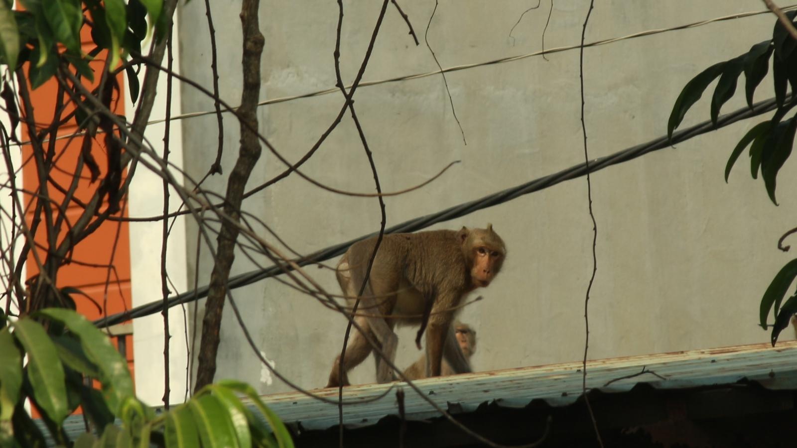 Đã bắt được con khỉ đầu đàn quậy phá khu dân cư ở TP.HCM