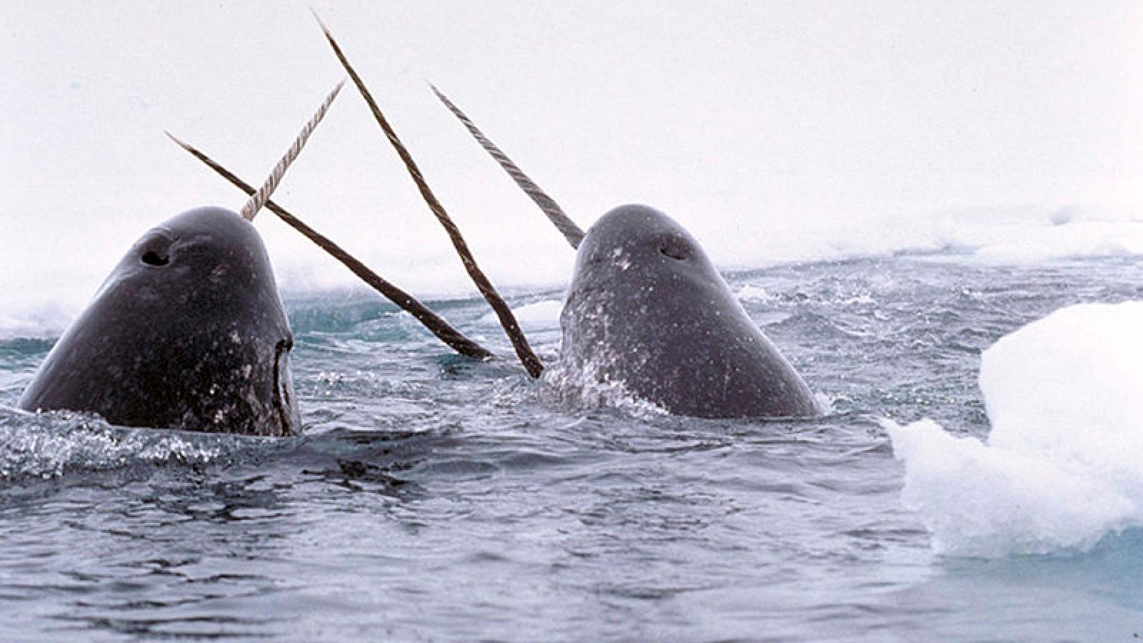 """Kỳ lân biển: Những chú """"ngựa một sừng"""" của đại dương"""