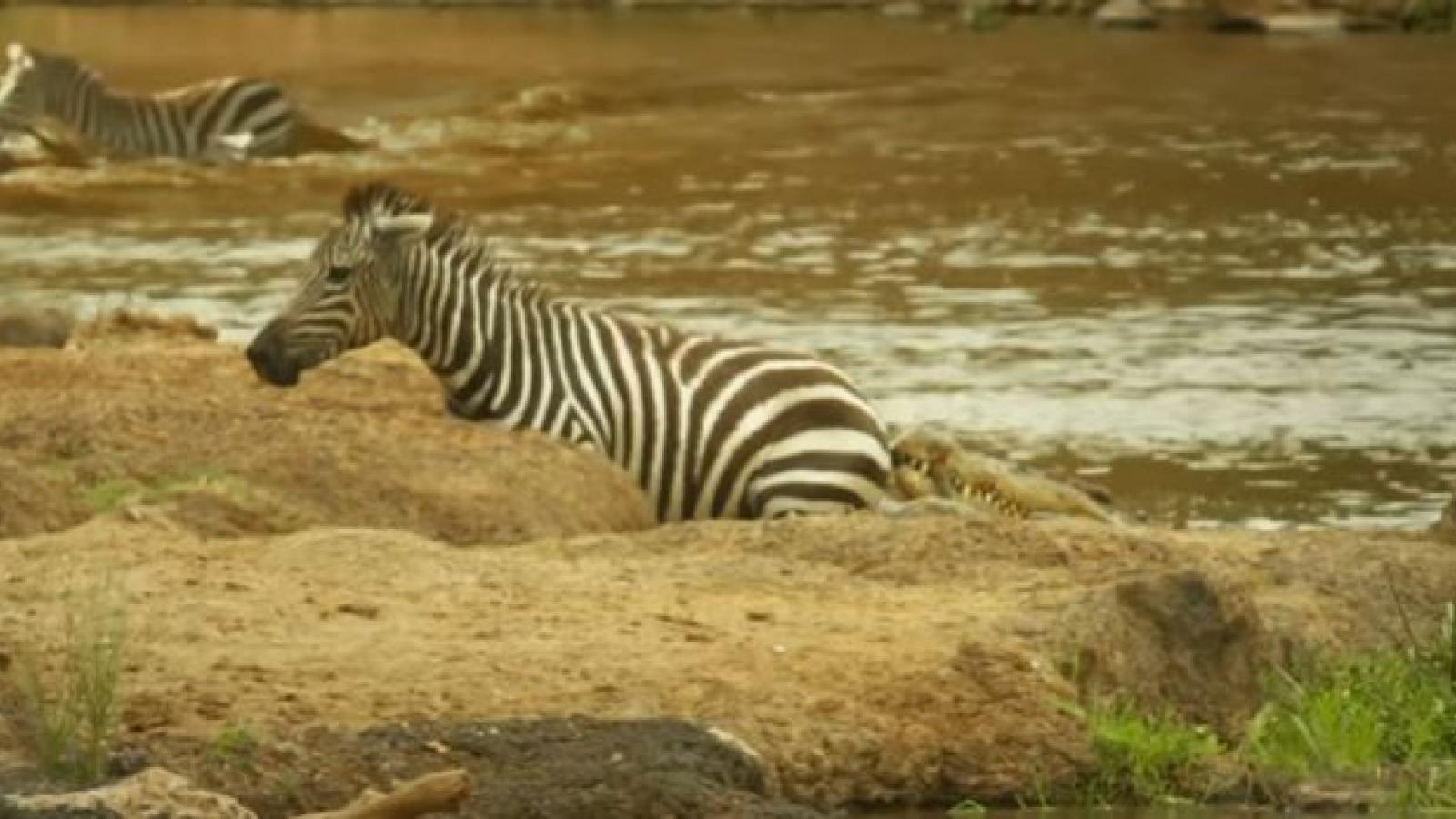 Ngựa vằn thoát chết ngoạn mục khỏi hàm cá sấu khi vượt sông