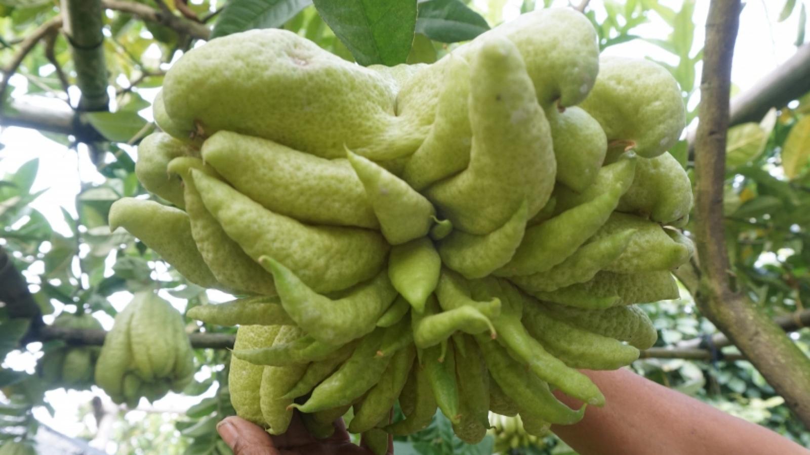 Phật thủ được mùa, trúng giá, người trồng phấn khởi, dân buôn lãi lớn