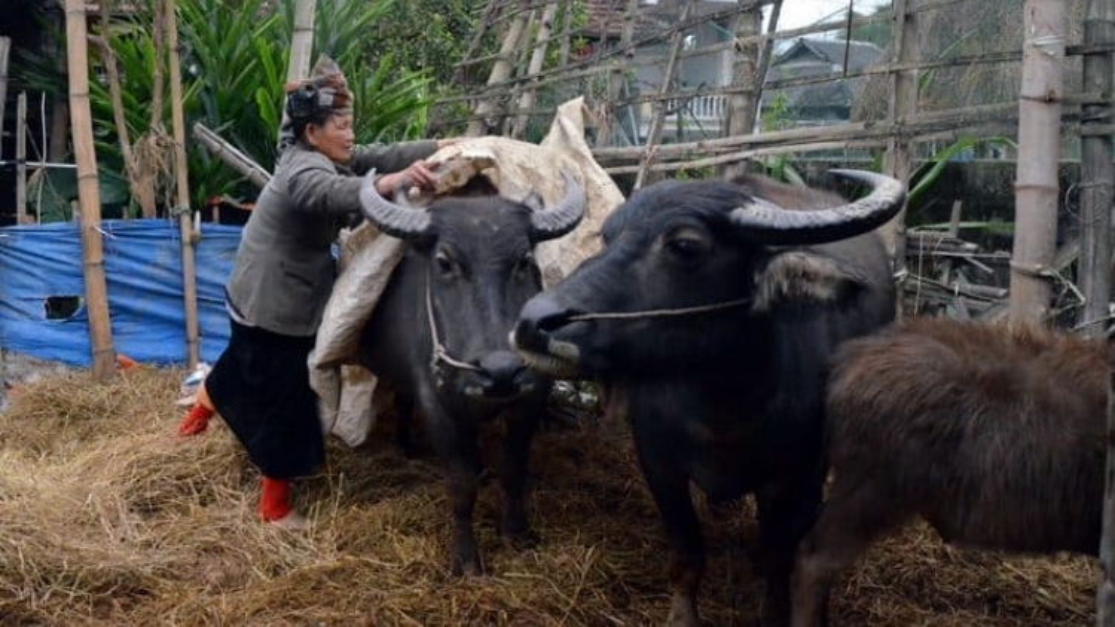 Chống rét cho trâu bò như thế nào khi rét đậm, rét hại?