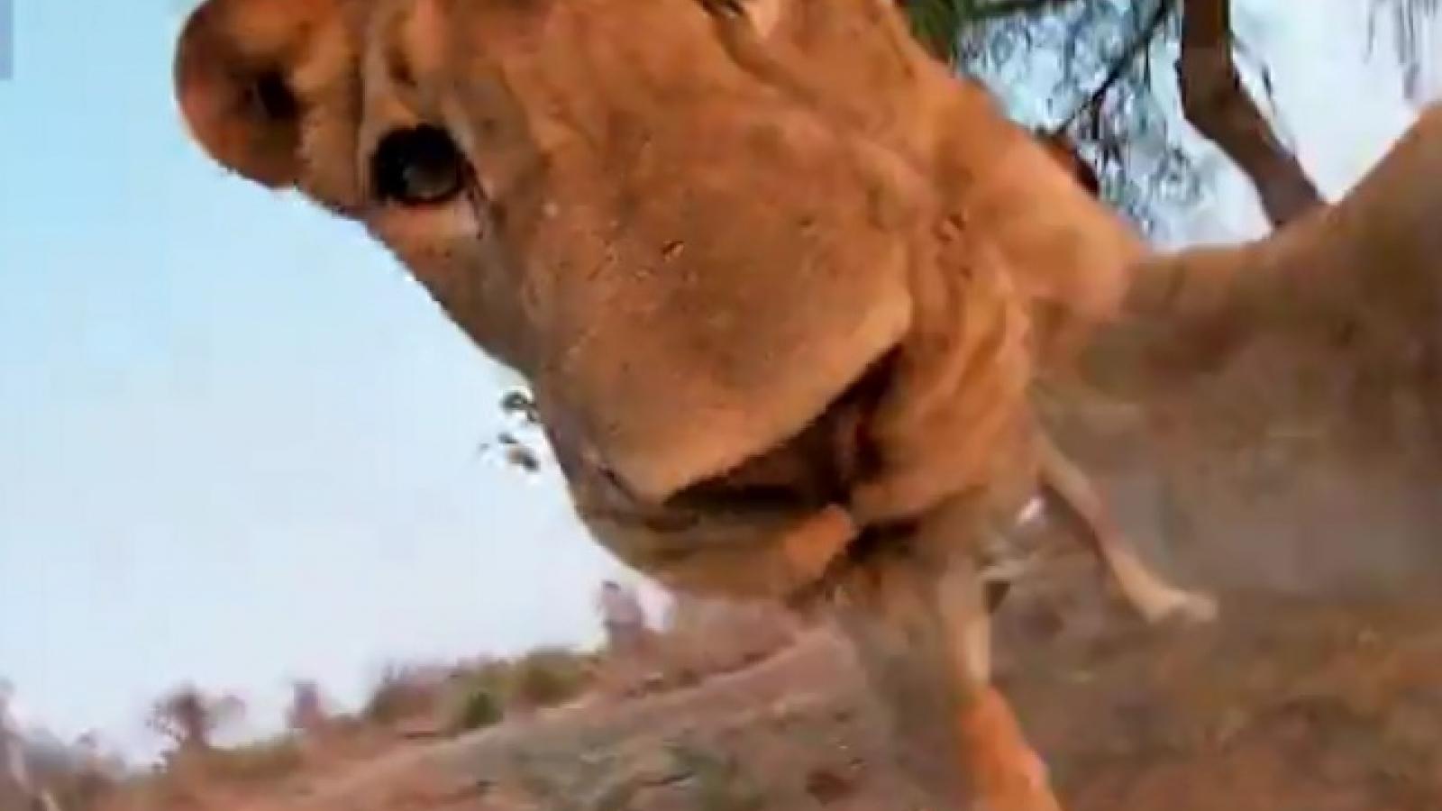 Video: Sư tử cái đói lồng lộn tấn công hung dữ camera