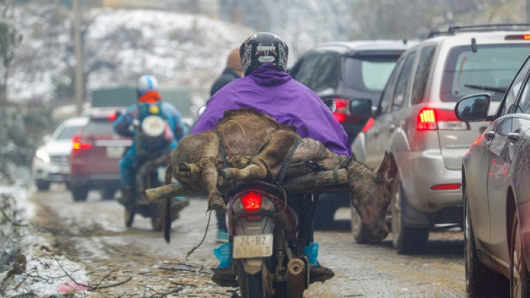 Extreme cold spell kills over 200 cattle in northern Vietnam