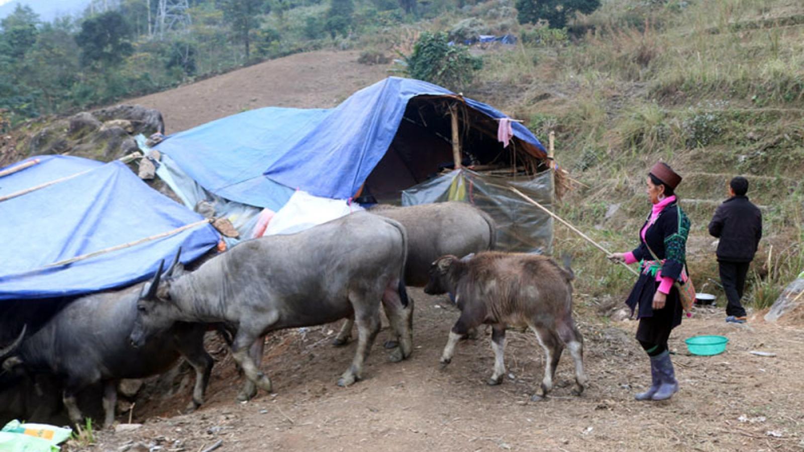 Nông dân Sa Pa đưa hàng nghìn con gia súc xuống vùng thấp để tránh rét