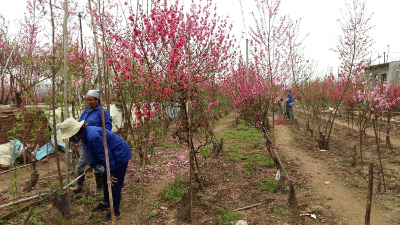 Đào Nhật Tân ế nở đỏ vườn sau Tết Tân Sửu