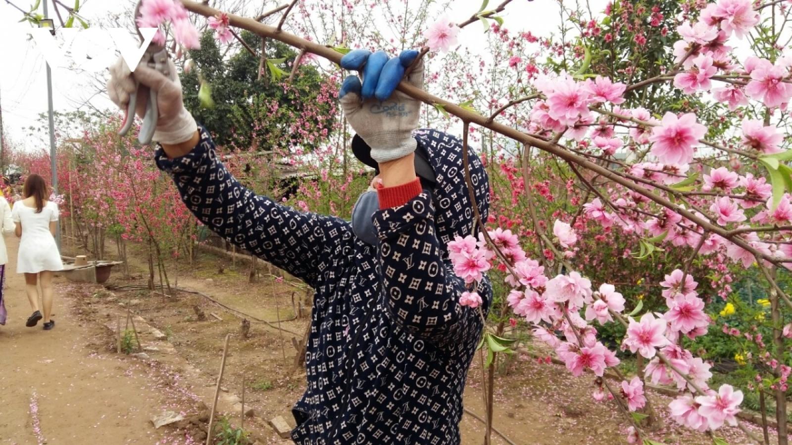 Đào Nhật Tân ế đỏ vườn sau Tết Tân Sửu