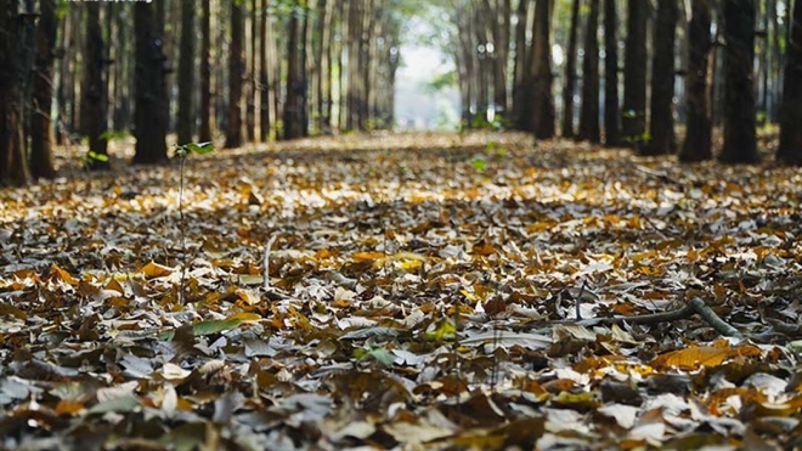 Đẹp ngỡ ngàng rừng cao su ở Bình Phước mùa thay lá