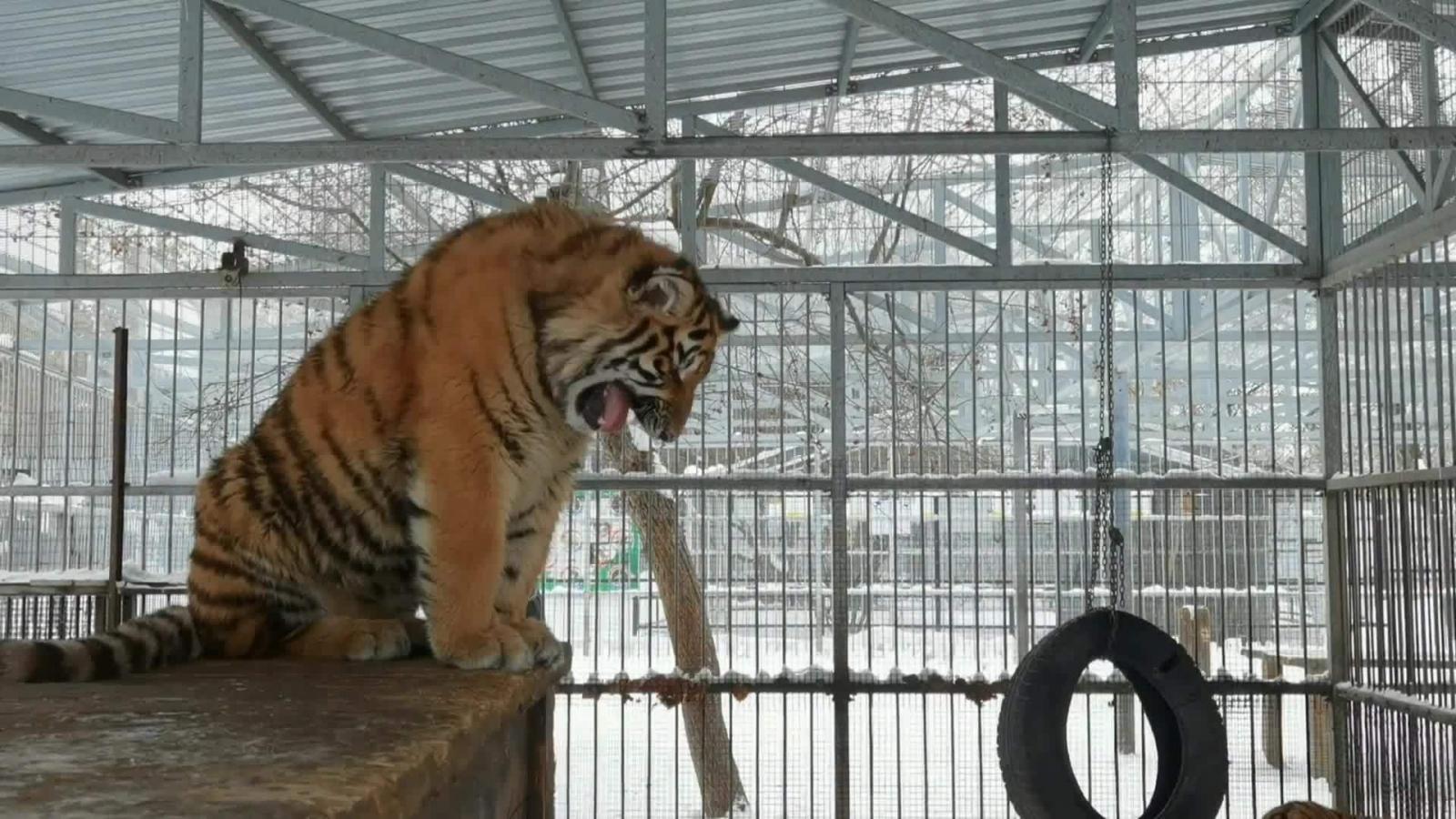 Ngạc nhiên chú hổ phô diễn giọng hát cao vút