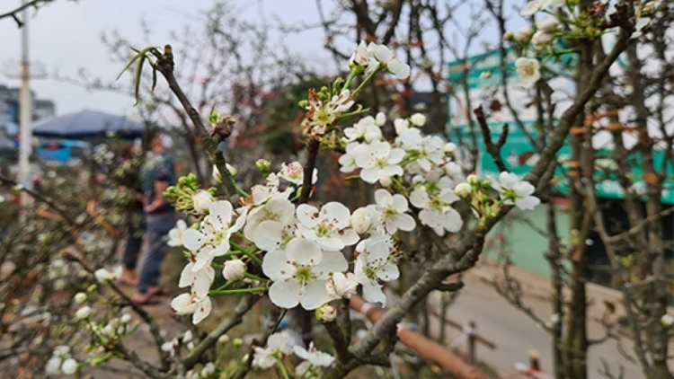 Wild pear blossoms prove popular among customers after Tet
