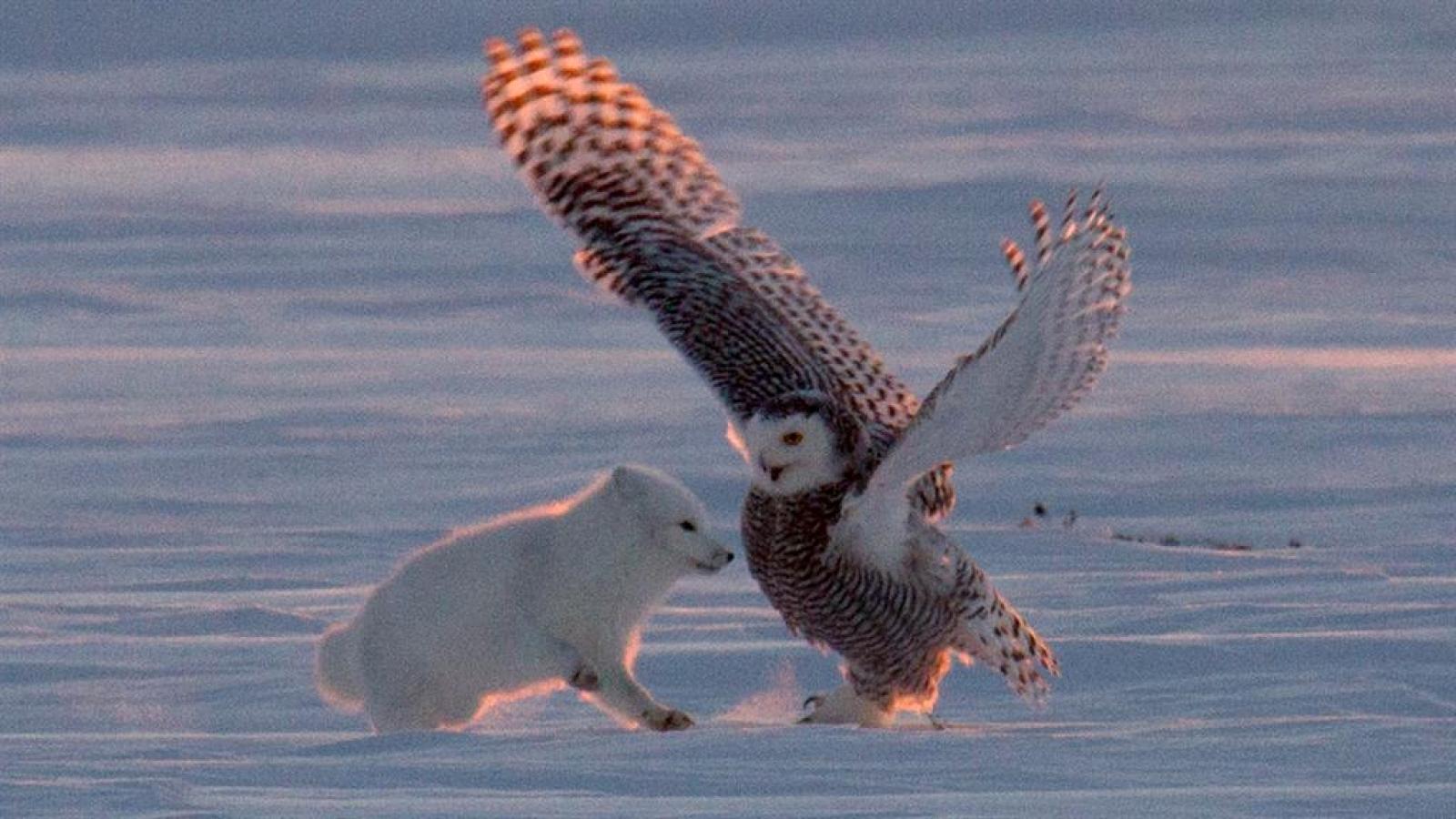 Cuộc tranh giành con mồi giữa cáo Bắc cực và cú tuyết