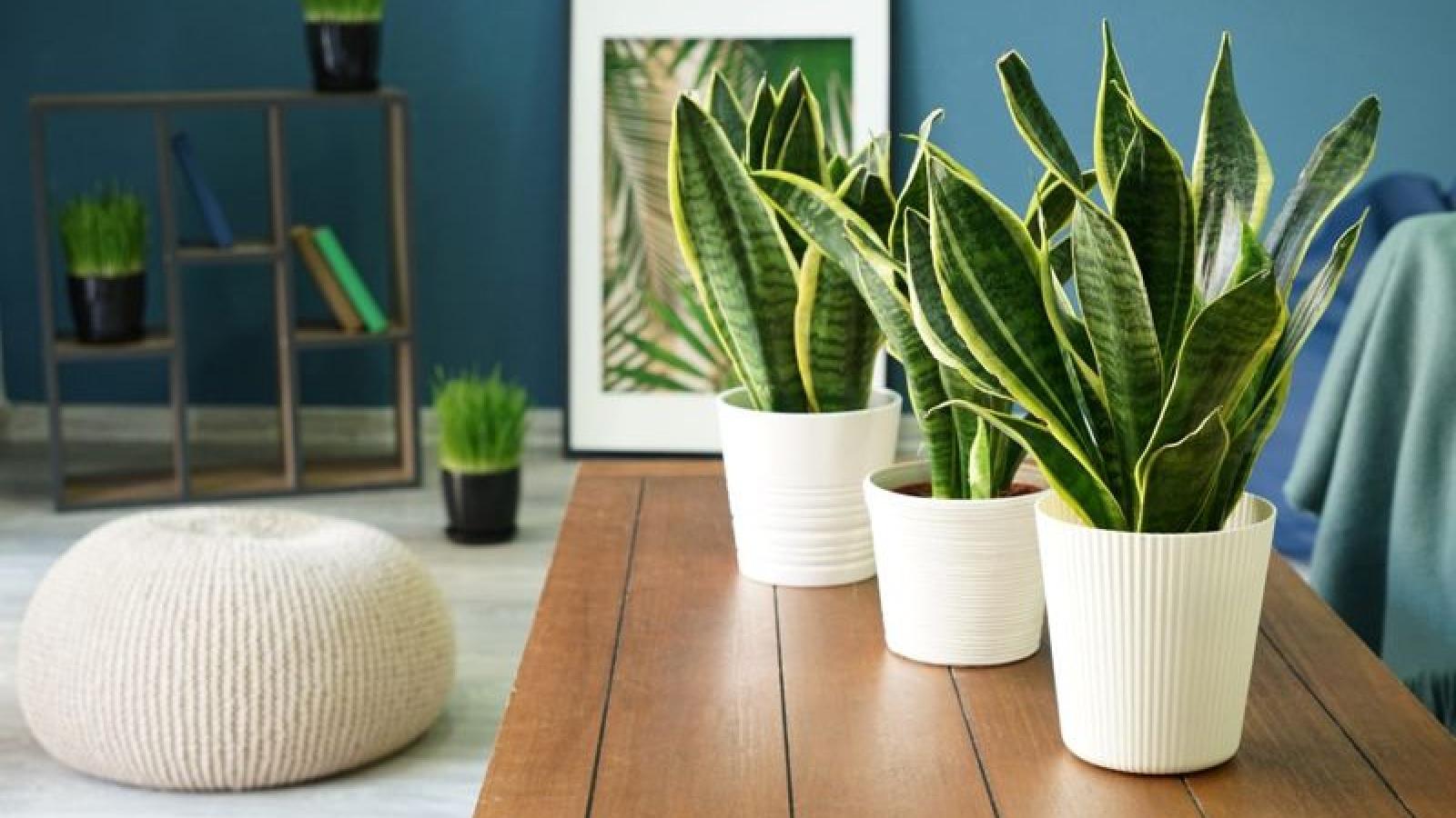 15 loại cây cảnh giúp thanh lọc không khí trong nhà