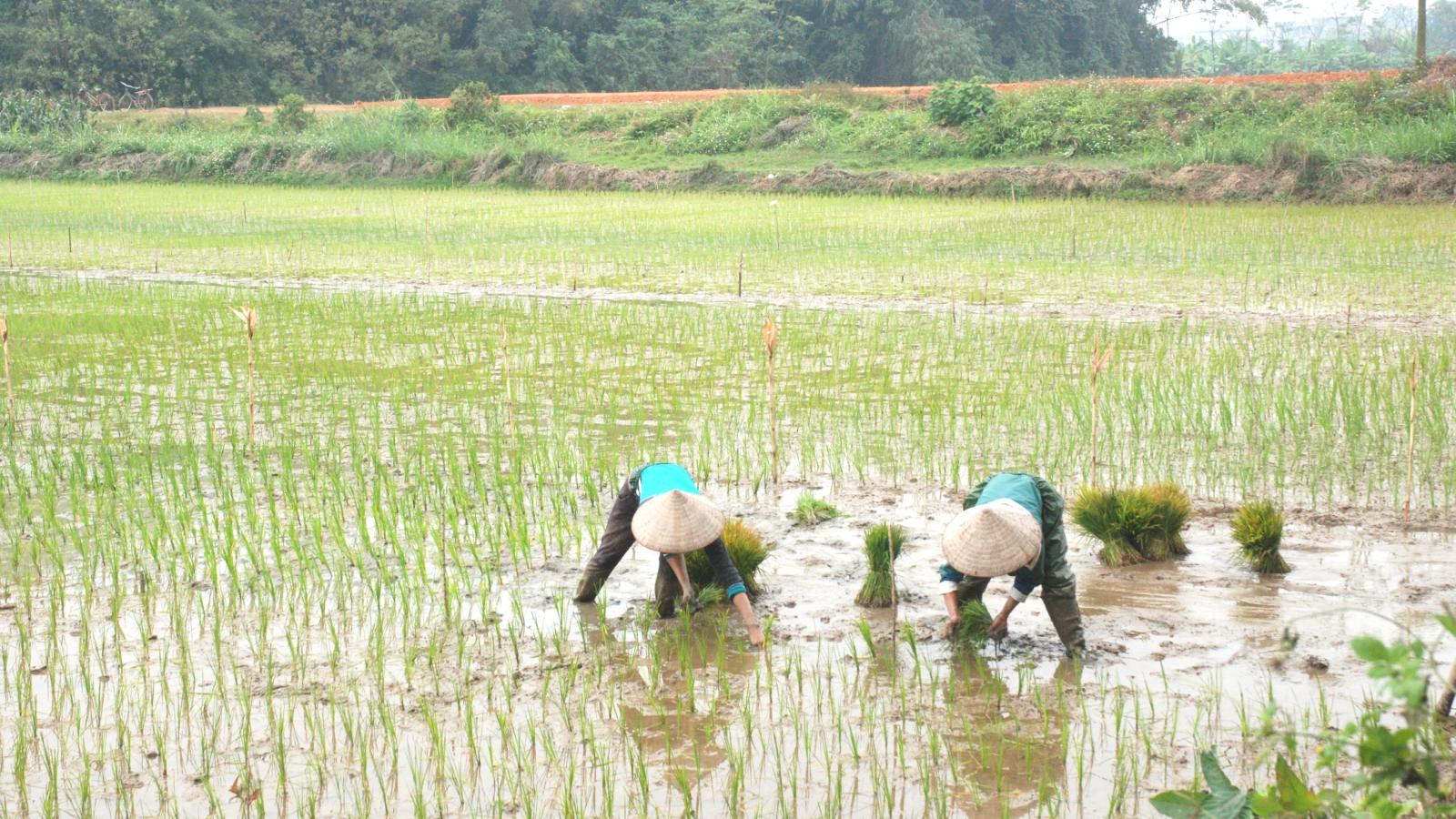 Nông dân xuống đồng: Sản xuất đi đôi với phòng, chống dịch