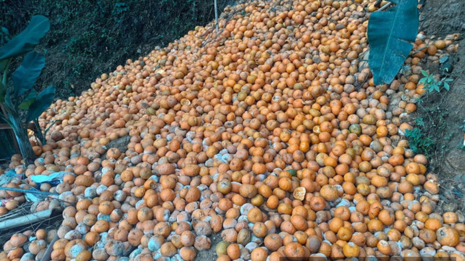 Gần 3.000 tấn cam Hà Giang bị thối rụng đỏ vườn