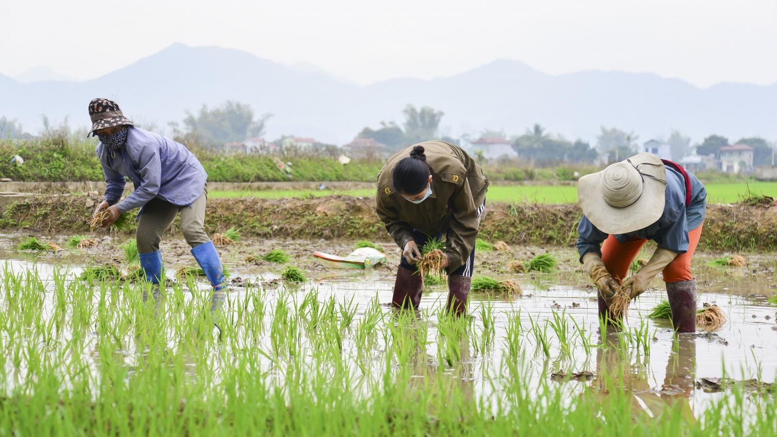 Tám thơm và Séng Cù Điện Biên được trồng trong ngày đầu năm mới