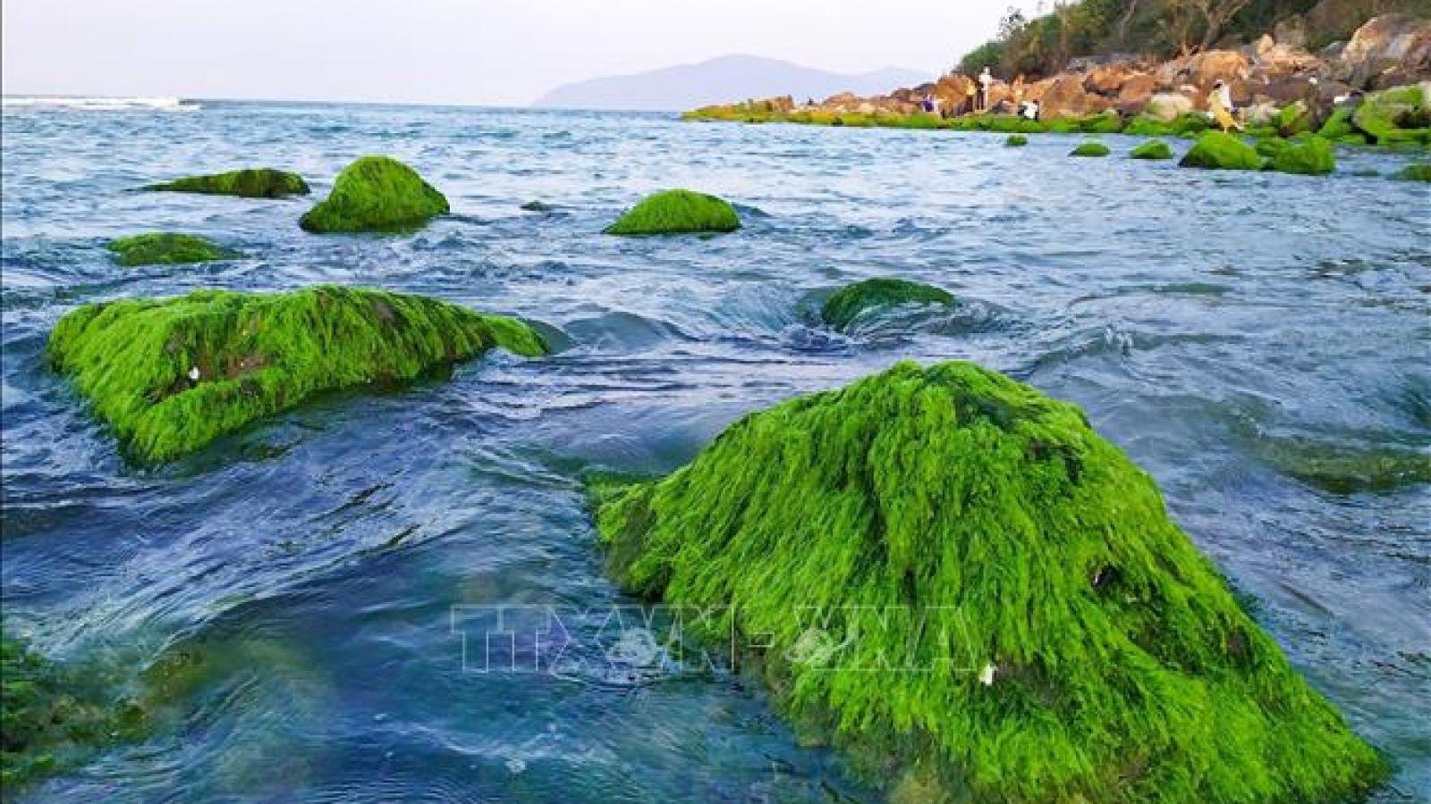 Đẹp ngỡ ngàng mùa rêu xanh mướt tại rạn Nam Ô, Đà Nẵng