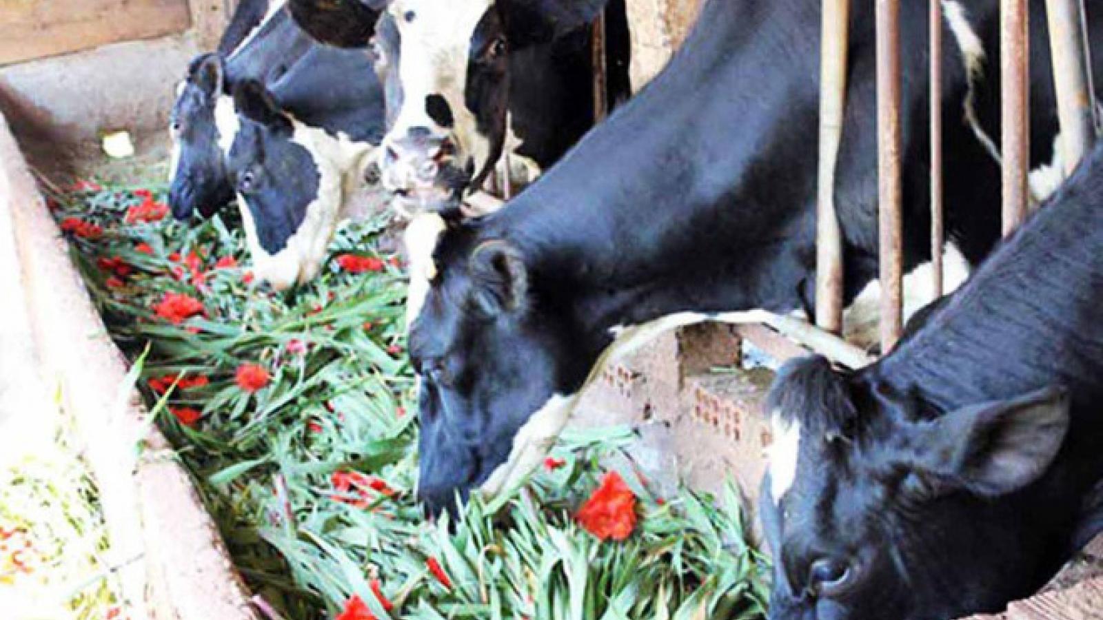 Làng lay ơn lớn nhất nước thiệt hại nặng, giá hoa rẻ hơn cỏ cho bò ăn