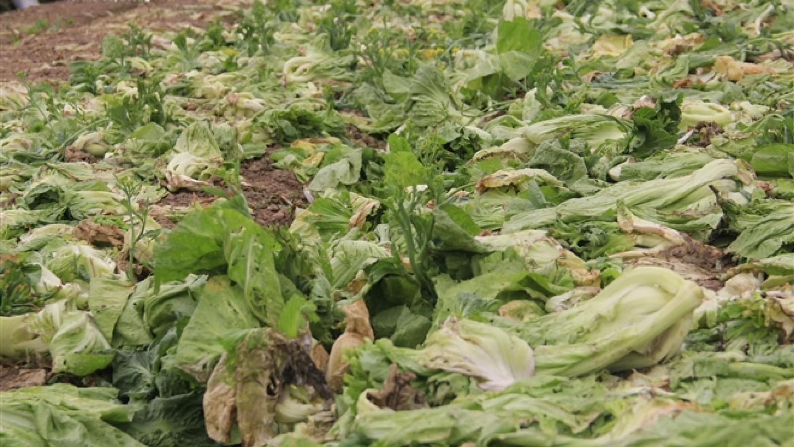 Hà Nội: Rau rẻ như bèo, nông dân bỏ đầy đồng làm phân bón