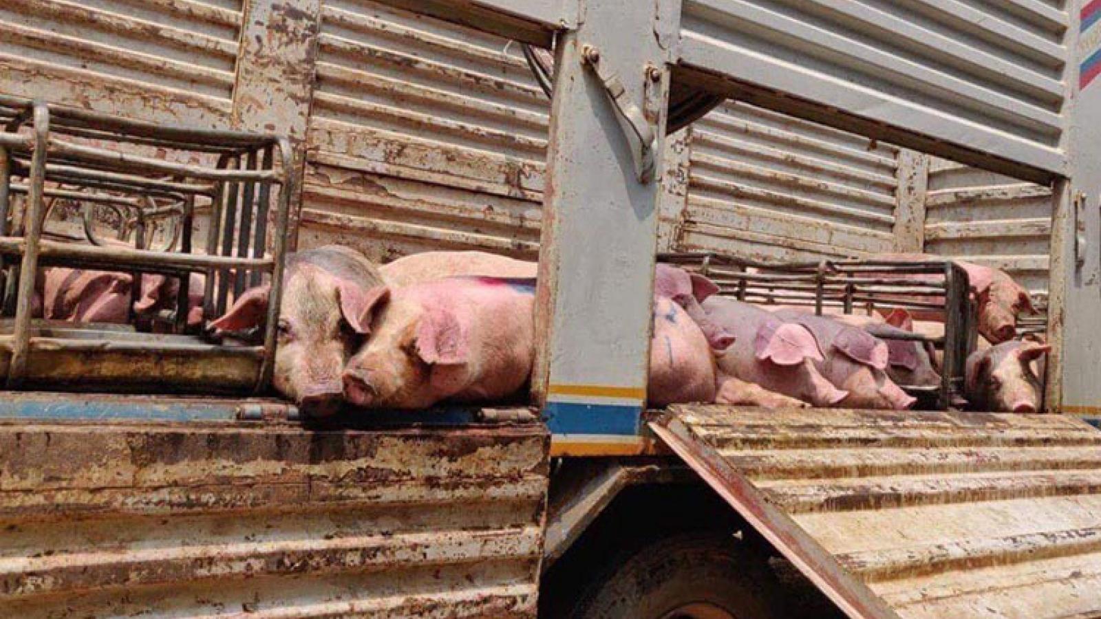 Campuchiatiêu hủy toàn bộ đàn lợn bị dịch tả lợn châu Phi