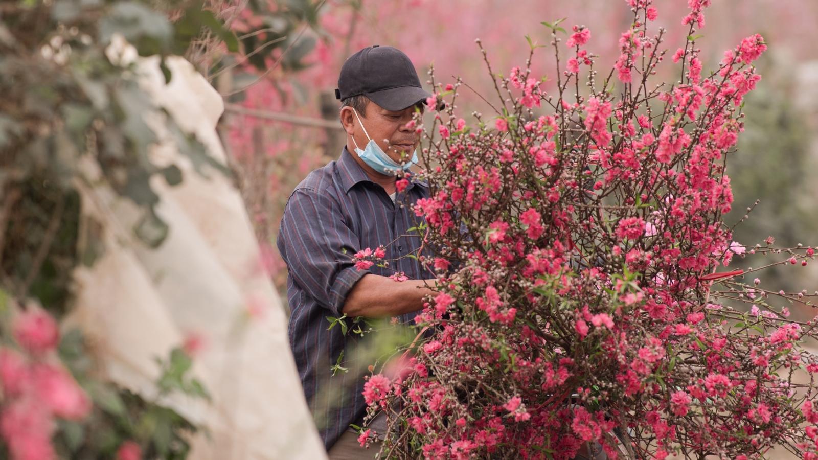 Vườn đào Nhật Tân vẫn tấp nập người mua trong ngày 29 Tết