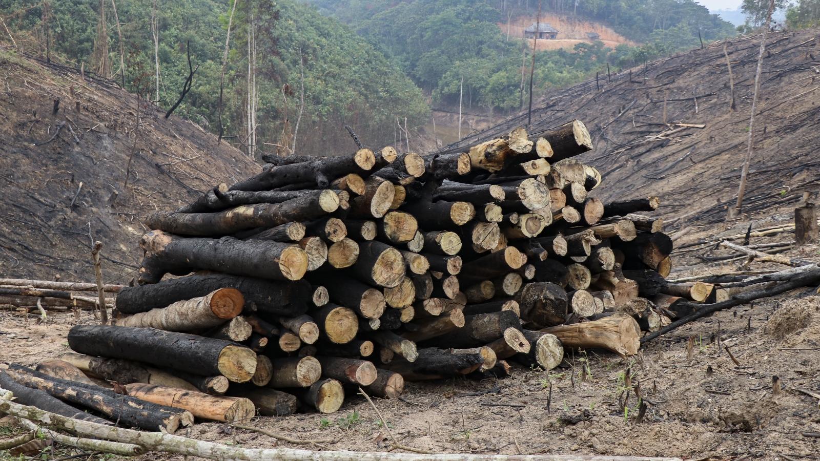UBND tỉnh Điện Biên chỉ đạo làm rõ vụ phá rừng tái sinh ở huyện Nậm Pồ