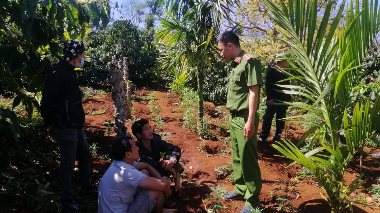 Tạm giữ hình sự hai anh em trồng 1.500 cây cần sa trái phép