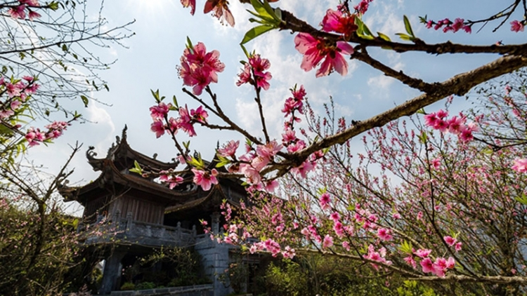 Stunning Japanese cherry blossoms spotted in Sa Pa