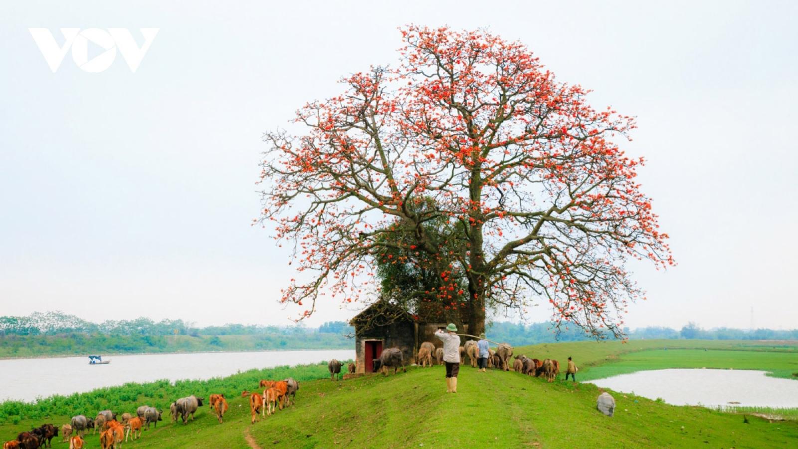 Bombax ceiba in full bloom across northern village