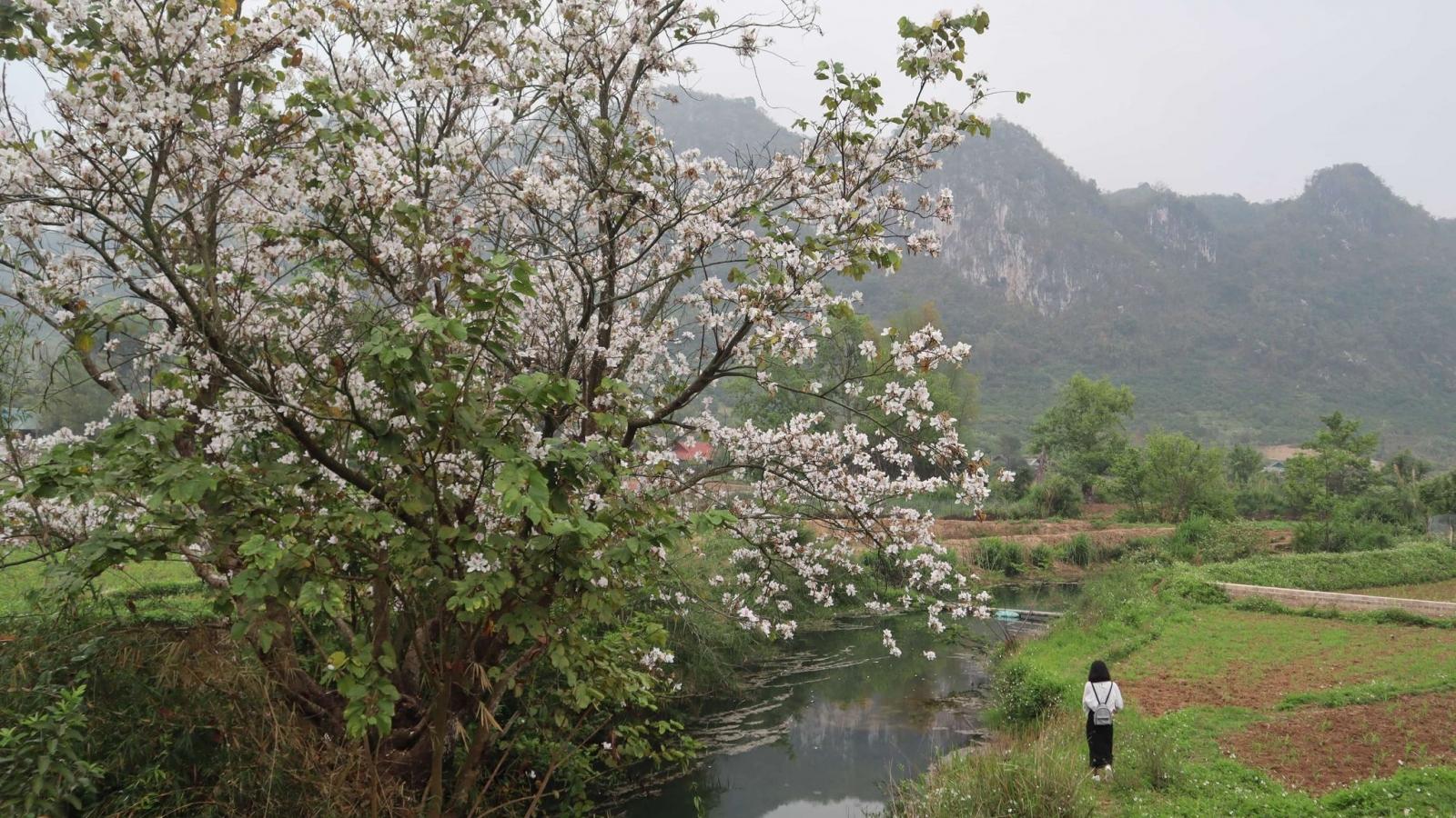 Hoa ban Mộc Châu, mùa gọi nước về