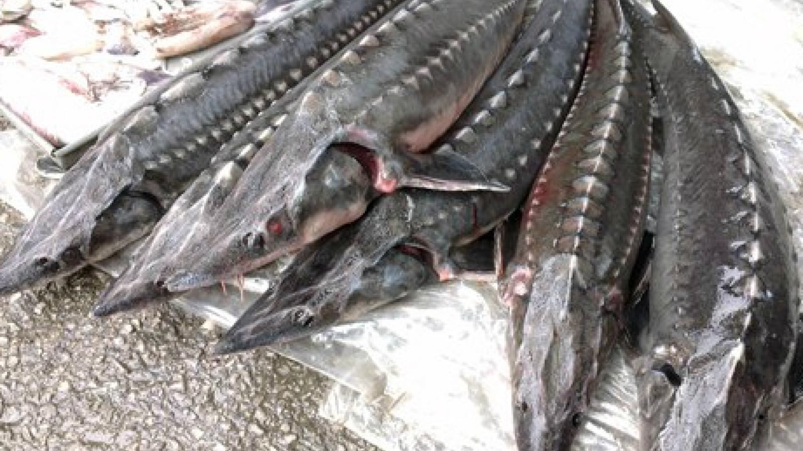 Tăng cường kiểm tra hoạt động nhập khẩu và kinh doanh cá tầm