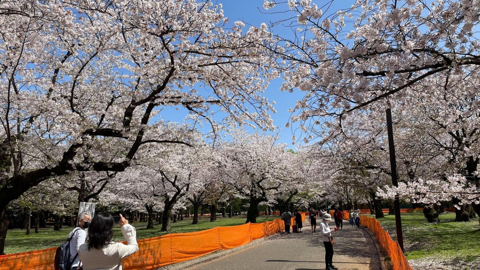 """Người dân Nhật Bản ngắm hoa anh đào trong sự """"kìm nén"""" lạ thường"""