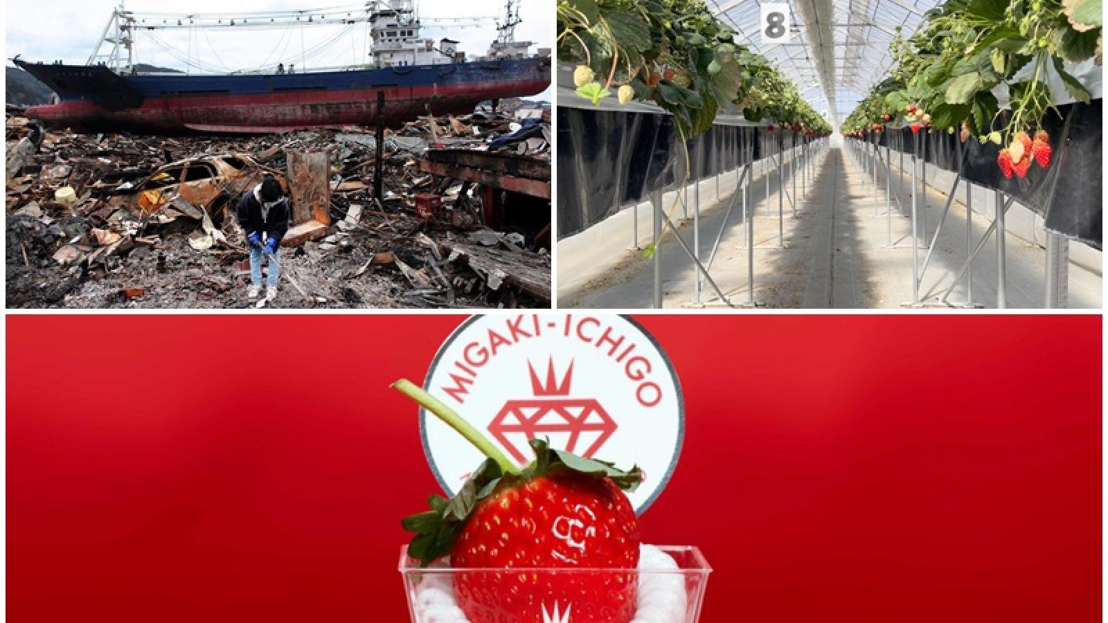 Tan hoang vì sóng thần, thị trấn Nhật Bản hồi sinh nhờ... dâu tây