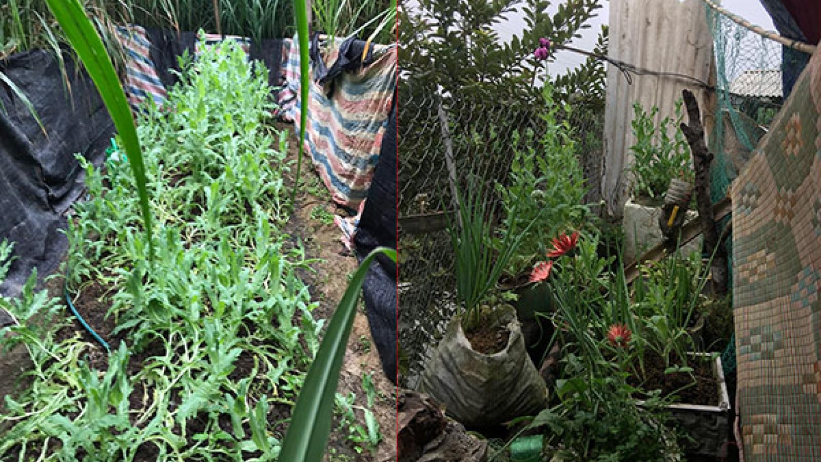 Hai anh em trồng gần 350 cây thuốc phiện trong vườn nhà