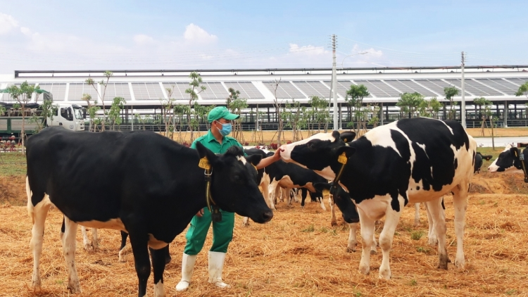 Vinamilk imports over 2,100 dairy cows from the US