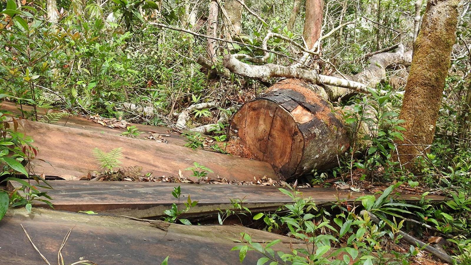 Kon Tum khám nghiệm hiện trường vụ khai thác trên 79m3 gỗ