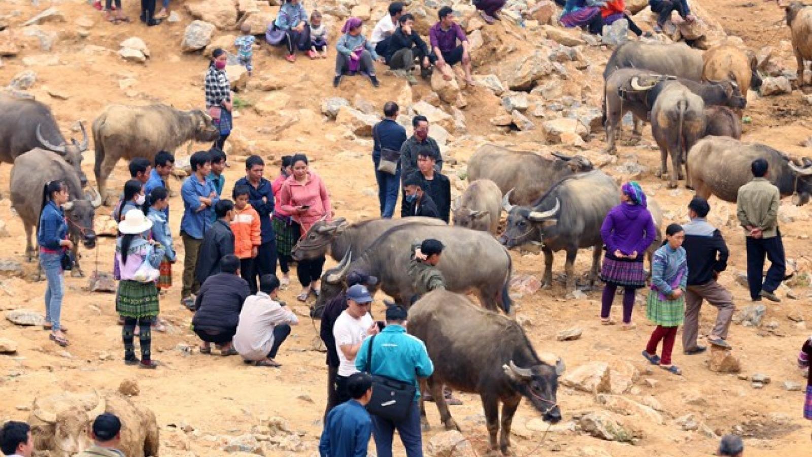Can Cau – largest buffalo market in Vietnam's northwest