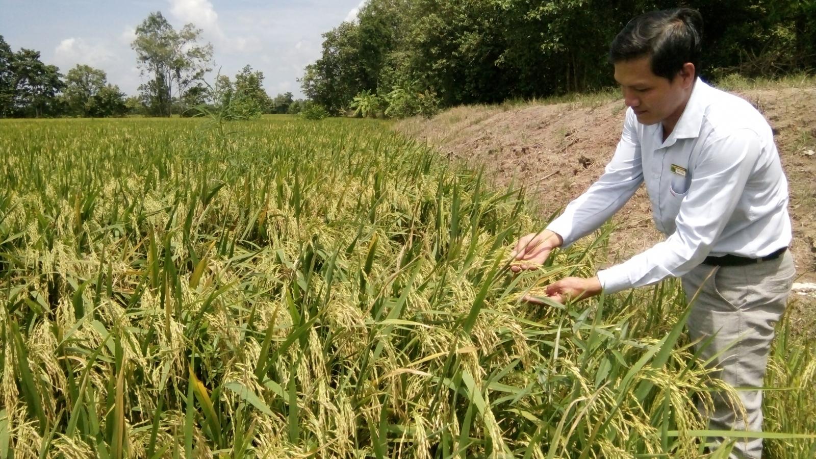 Hợp phần lúa gạo ở vùng ĐBSCL đạt hiệu quả cao sau khi chuyển đổi