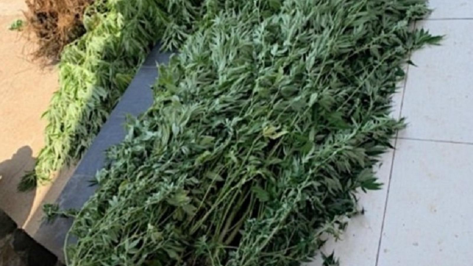 Người đàn ông Canada trồng gần 500 cây cần sa ở nhà vợ tại Phan Thiết
