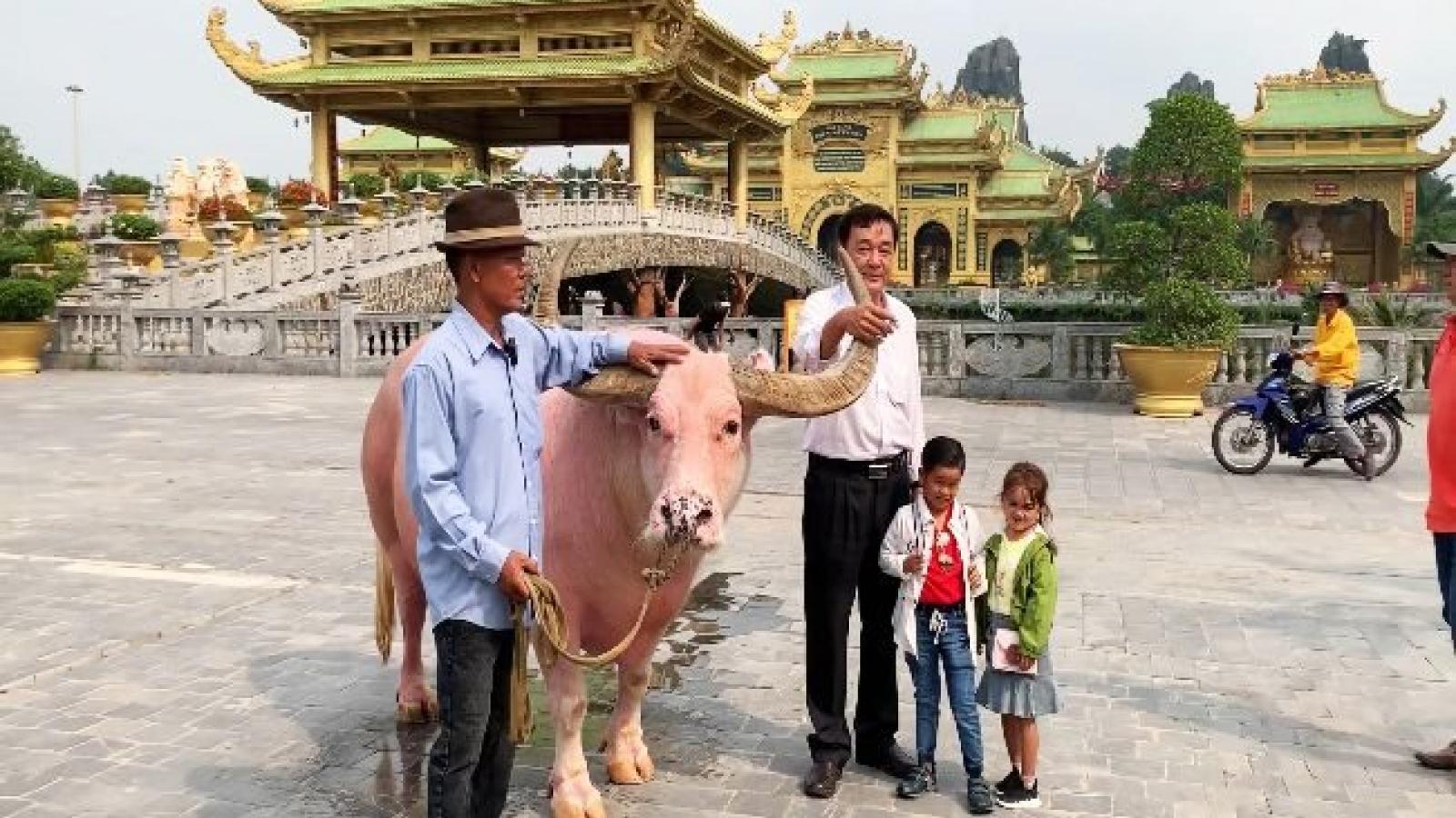 Pink buffalo in Saigon