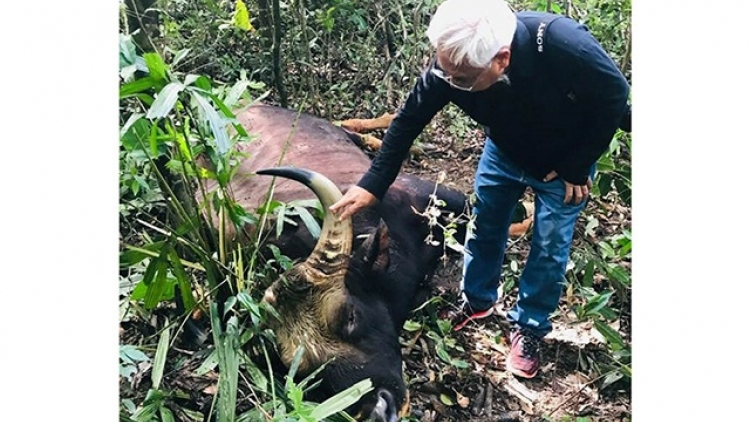A 700kg gaur dies in Dong Nai Nature Reserve