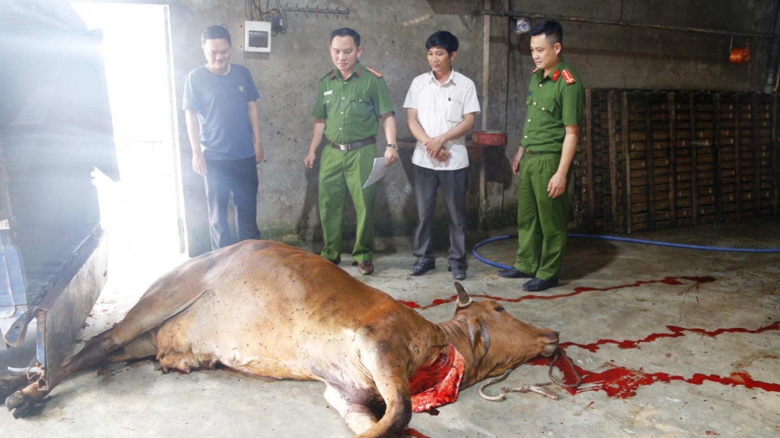 Mua trâu bò đã chết ở vùng dịch về xẻ thịt bán kiếm lời