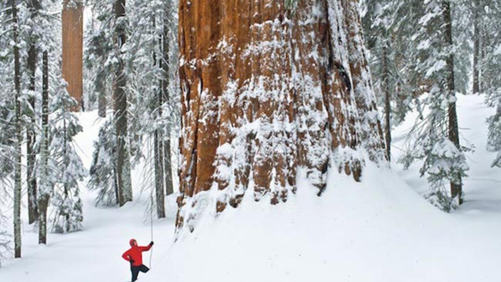 Kinh ngạc cây khổng lồ 3.200 tuổi cần 126 tấm ảnh mới có thể chụp hết