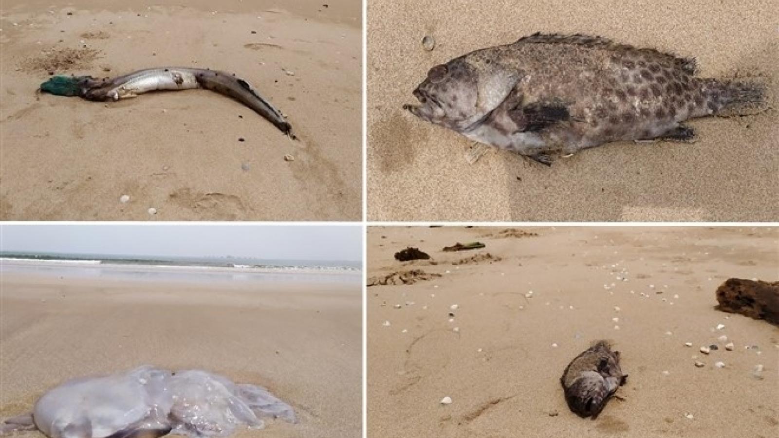"""Cá chết ở Nghi Thiết, Nghệ An: Chất lượng nước biển """"không có dấu hiệu bất thường"""""""