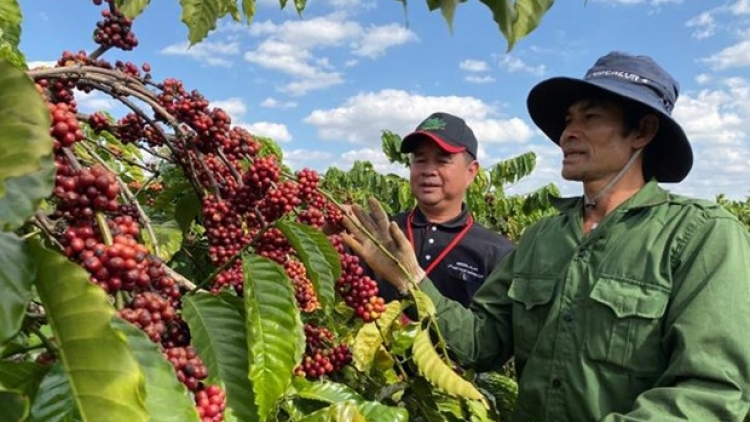 Coffee exports fall by over 11% in Q1