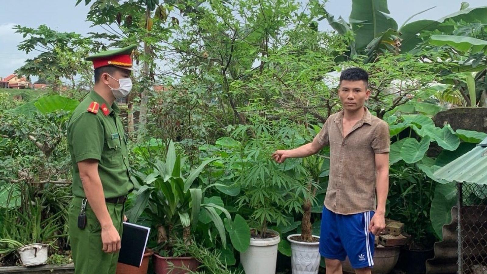 Phát hiện đối tượng trồng cần sa trong nhà tại Quảng Ninh