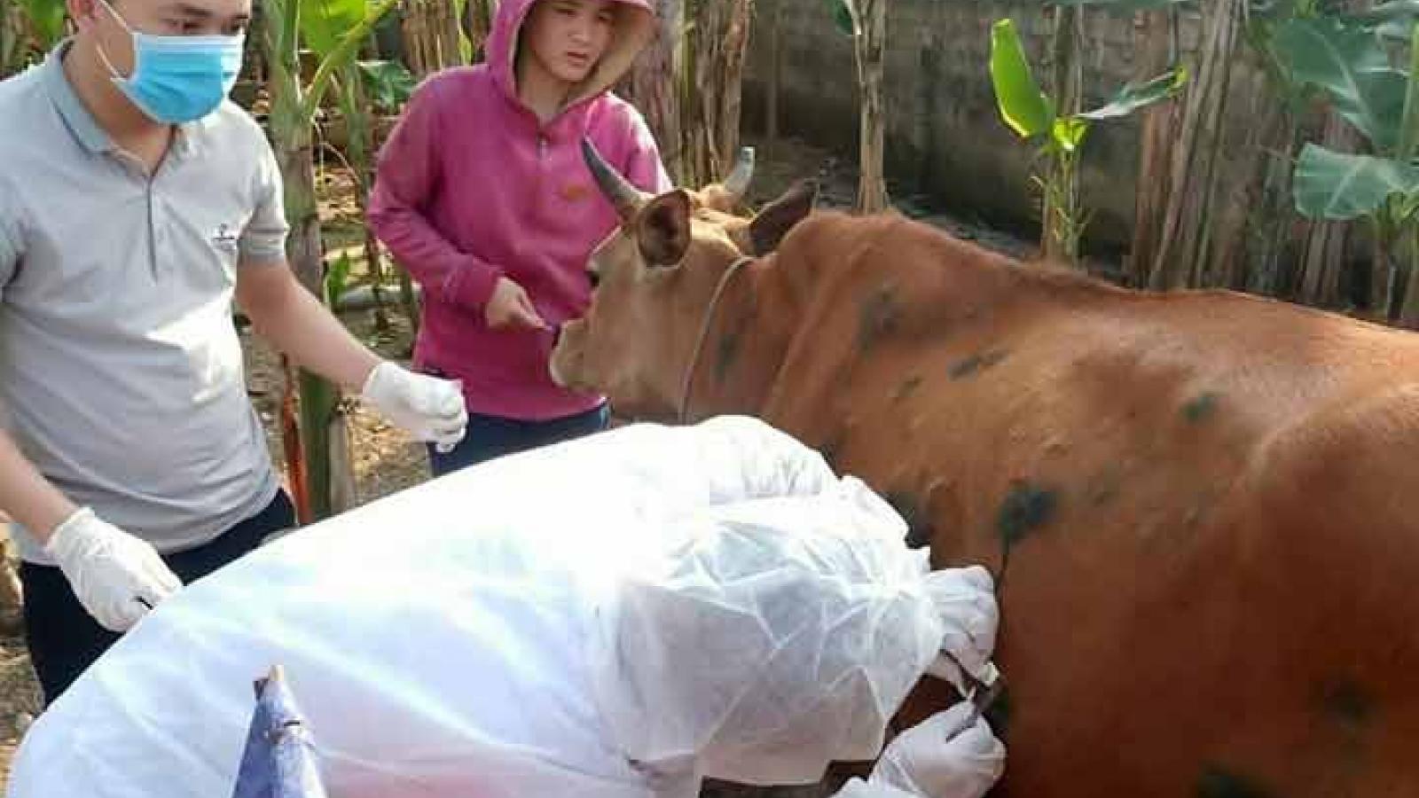 Quảng Bình tiêm vaccine phòngbệnh viêmda nổi cụctrên gia súc